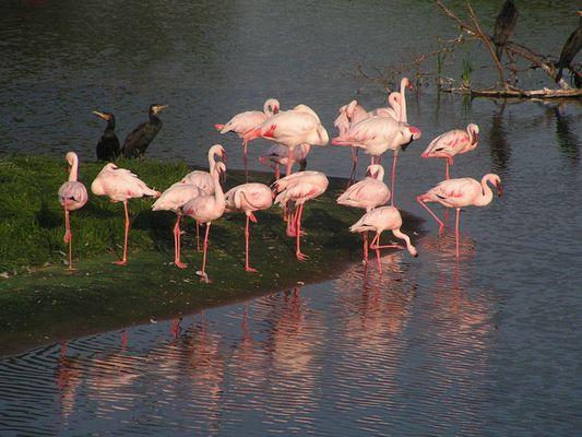glückliche Flamingos