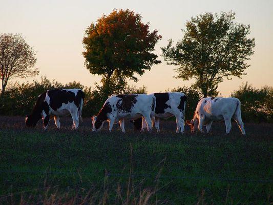 glückliche Kühe....