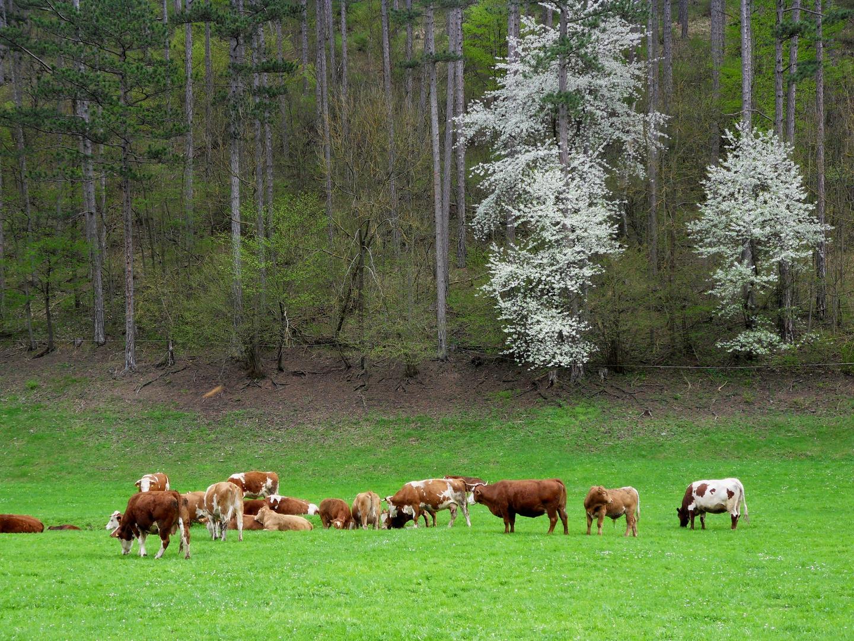 ...glückliche Kühe...