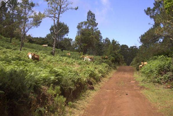 Glückliche Kühe auf Madeira