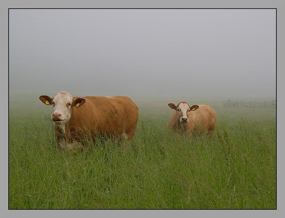 glückliche Kühe im Nebel