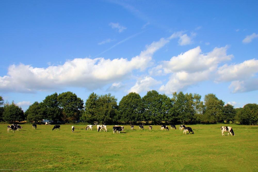 Glückliche Kühe in Kempen am Niederrhein