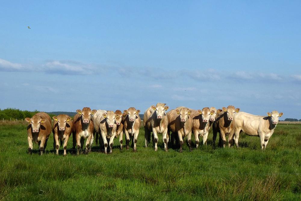 Glückliche Rinder am Rande der Tinner Dose