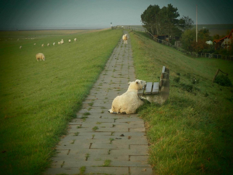 Glückliche Schafe auf einem Dich in Nordstrand
