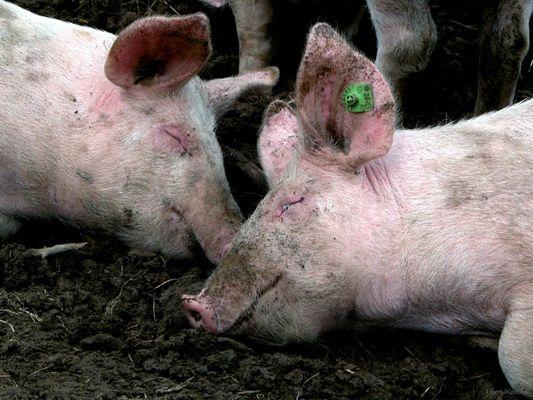 Glückliche Schweine!
