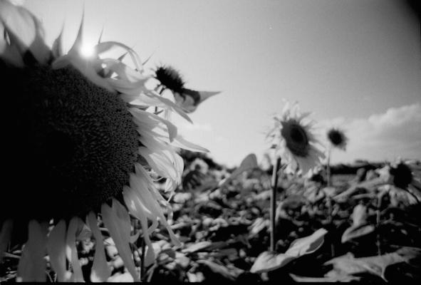 glückliche Sonnenblumen
