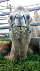 Glückliches Kamel