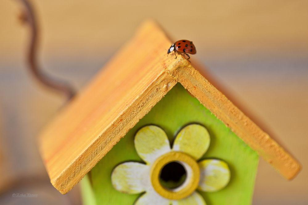 Glückskäfer sucht neues zu Hause