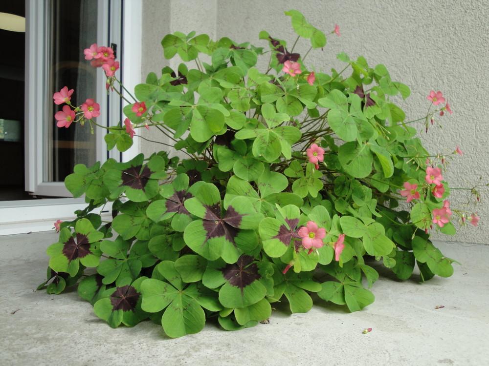 gl cksklee foto bild pflanzen pilze flechten bl ten kleinpflanzen gartenpflanzen und. Black Bedroom Furniture Sets. Home Design Ideas