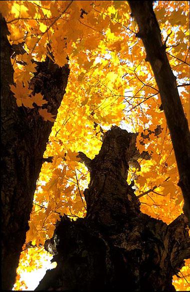 glühender Baum - Indian Summer in Neu England