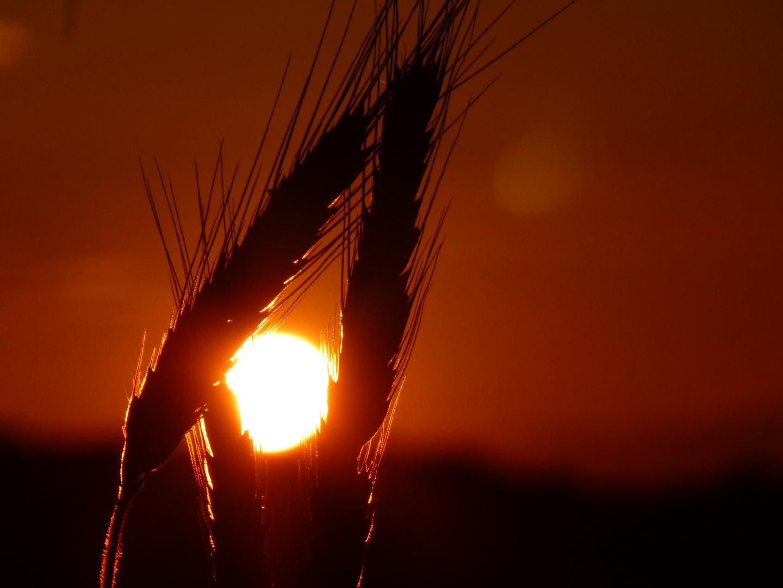 glühendes Getreide