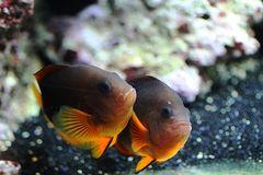 Gluehkohlen Anemonenfische