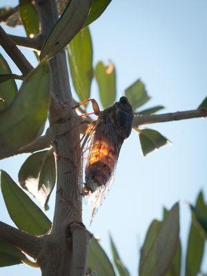 Glühzikade oder Zikadenwürmchen?