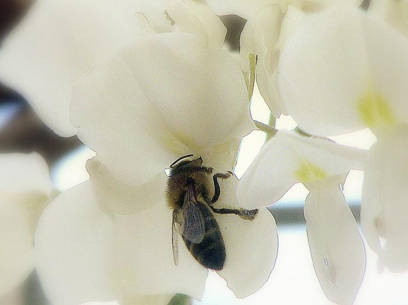 Glycine blanche