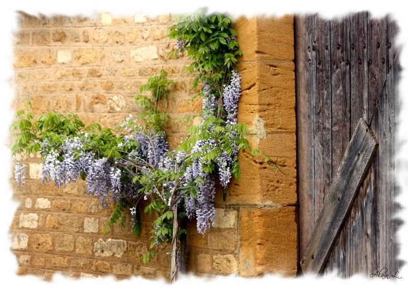 Glycine sur vieux mur
