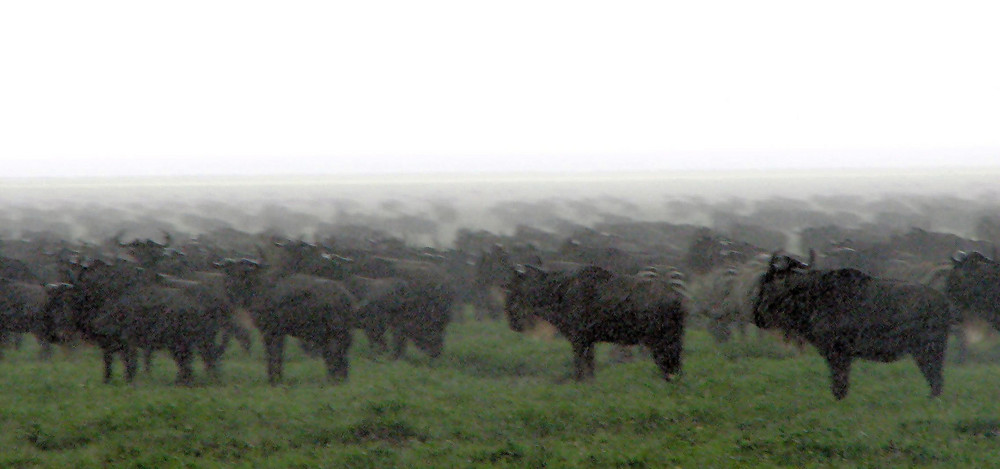 gnous sous une pluie battante