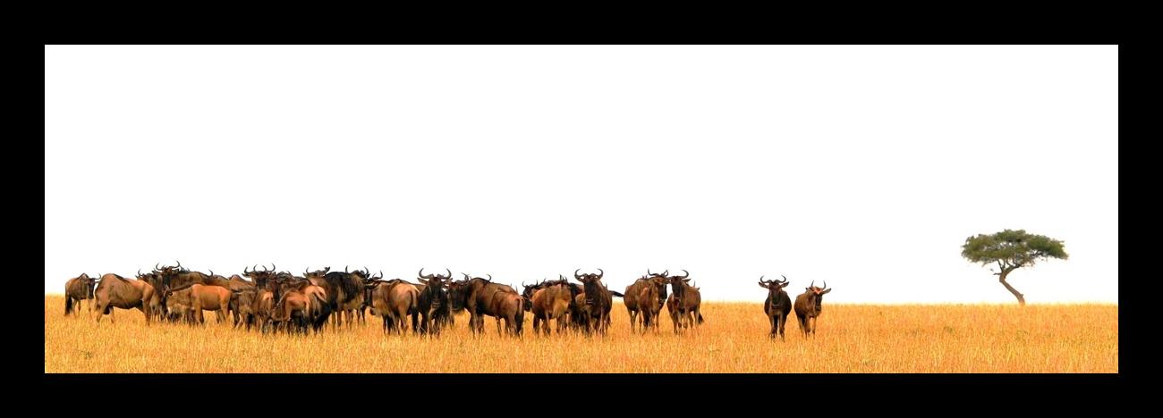 Gnous (Wildebeest) - Masai Mara / Kenya - Repos !