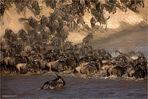 Gnu-Crossing am Mara River (1)