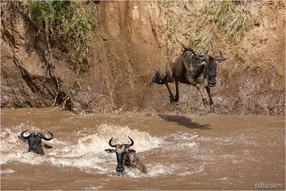 Gnu-Crossing am Mara River (5)