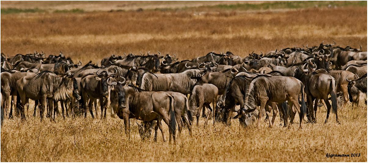 gnu herde.... Foto & Bild | africa, eastern africa, tanzania ... | {Herde 18}