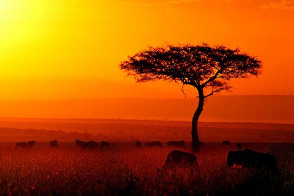 Gnu-Herde im Masai Mara Nationalpark in Kenia