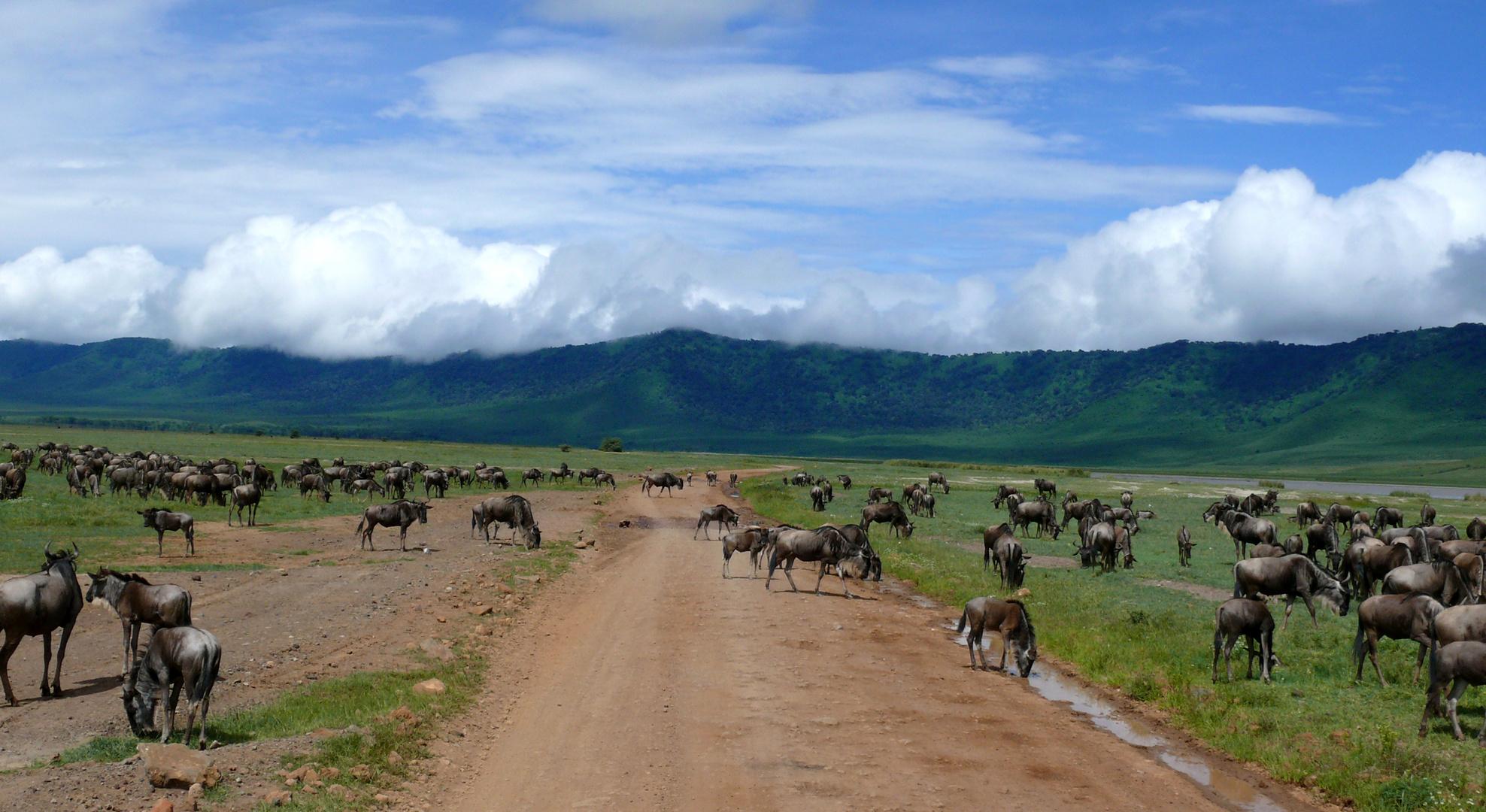 Gnus wandern durch den Ngorongoro Krater