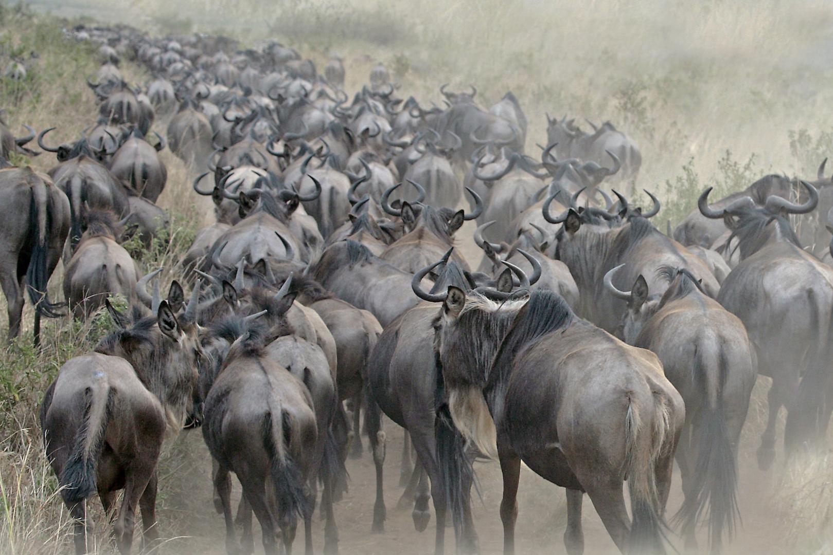 Gnuwanderung in der Masai Mara