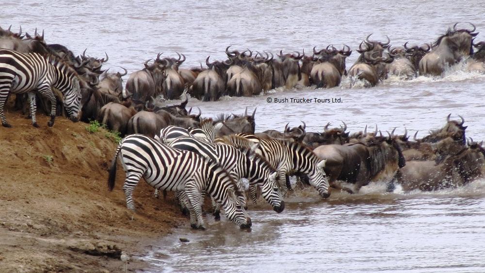 Gnuwanderung - Mara Fluss Durchquerung