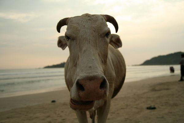 Goa-Cow