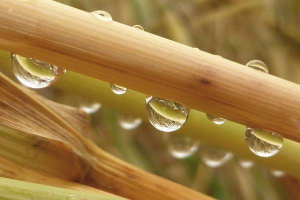 gocce.tra le spighe del grano...