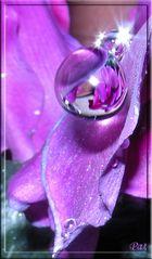 gocciolando tra i petali