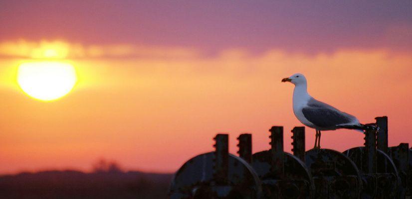 Goéland au coucher de soleil