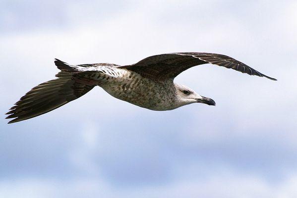 Goéland juvénile en vol