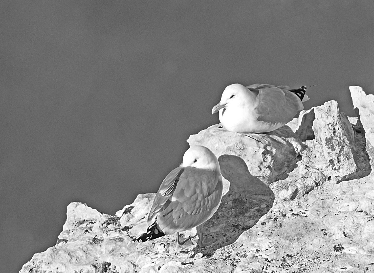 goélands en noir et blanc