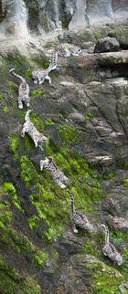 Going Down! (Schneeleopard Mohan, Zoo Zürich)