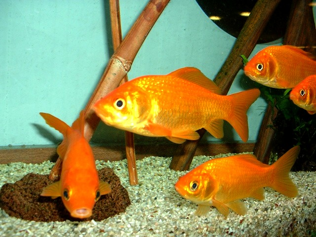 Gold Fische