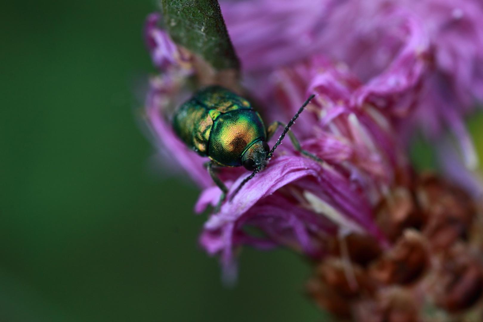Gold Käfer