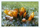 Gold-Krokusse im Schnee...