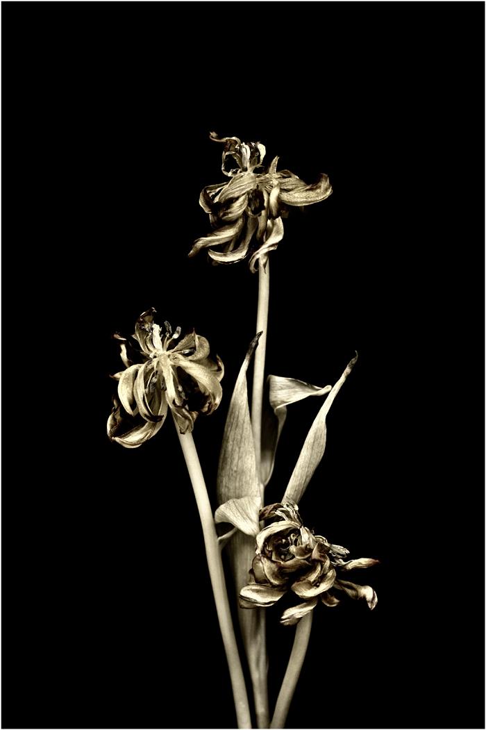 Gold tulipe