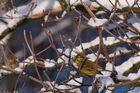 Goldammer (Emberiza citrinella)