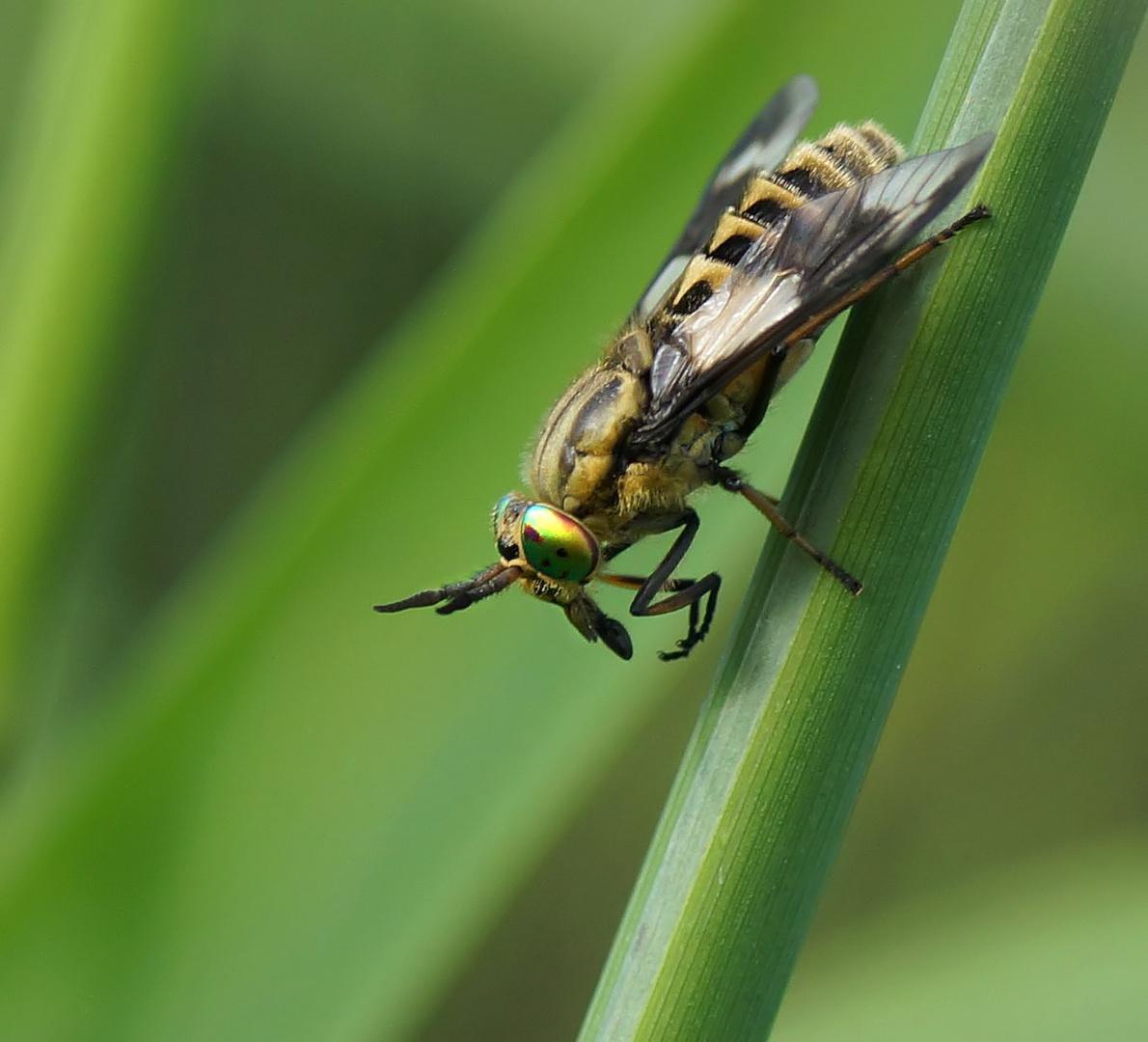 Goldaugenbremse (Chrysops relictus)
