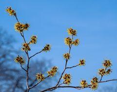 goldblütensternchen