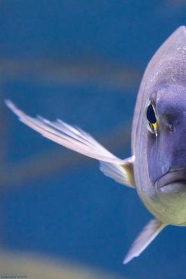 Goldbrasse/Dorade - Halber Fisch