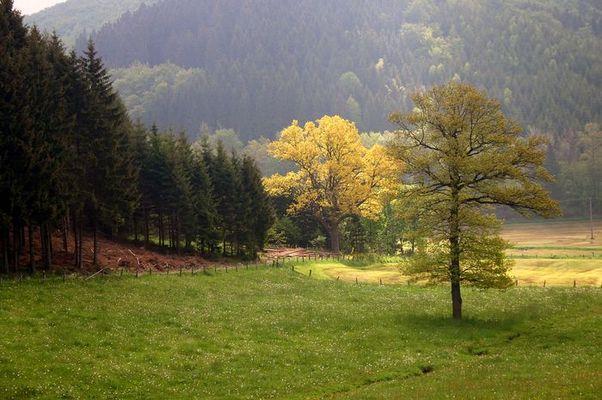 Goldeiche in Bad Berleburg-Wemlighausen