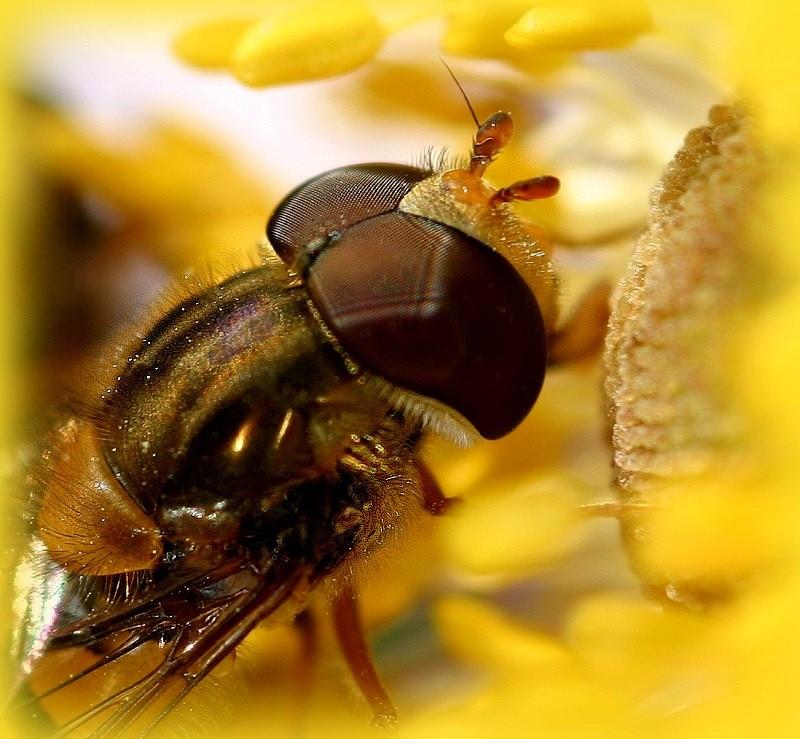 golden fly neu