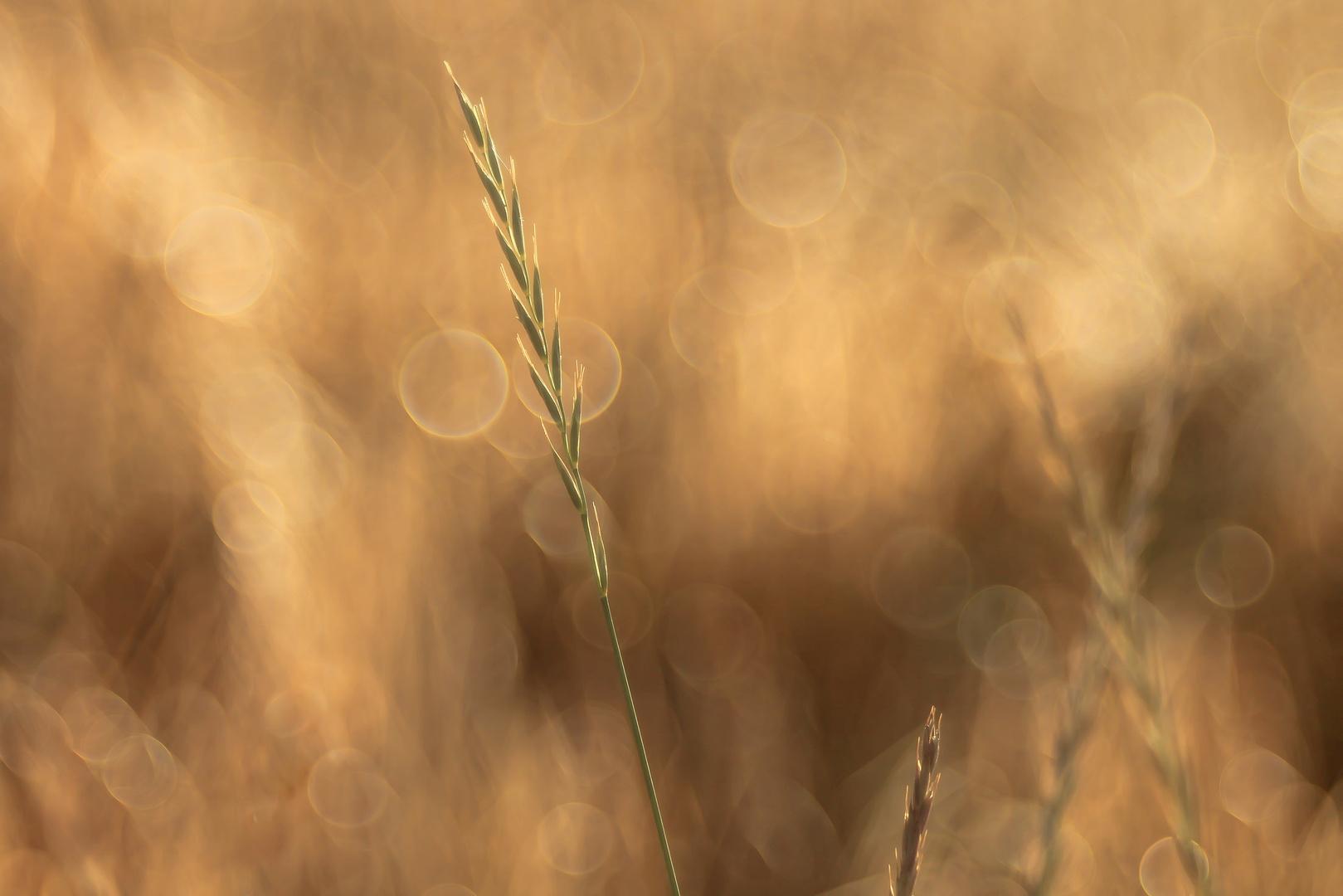 Golden Gras