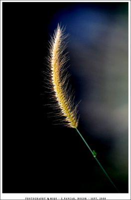 .:: GOLDEN GRASS ::.