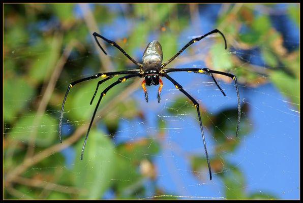 Golden Orb Web Spider, Nephila spp