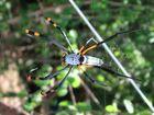 Golden Orpe Spider