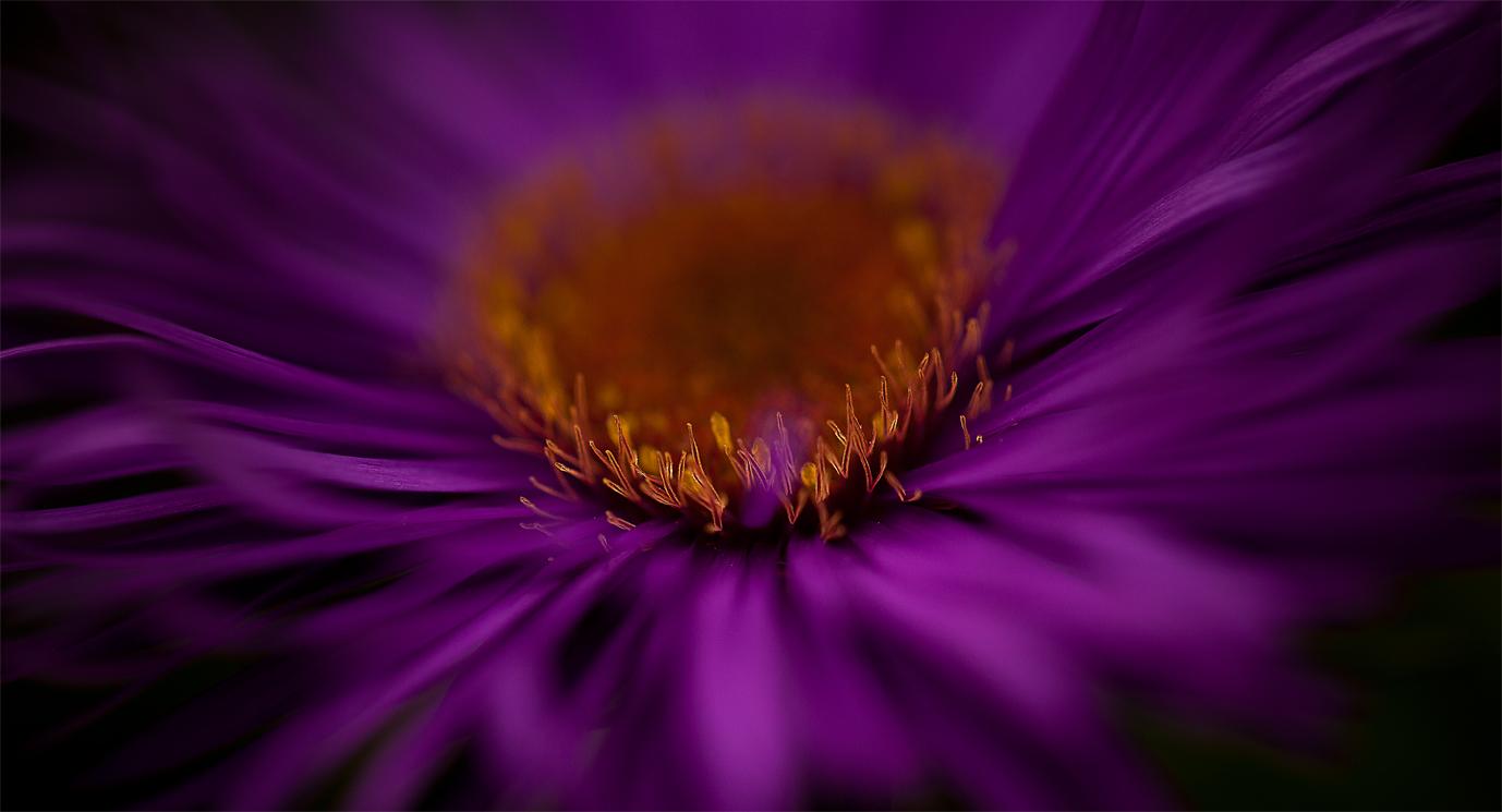 golden purple